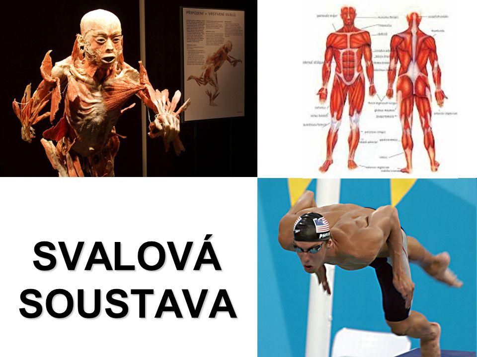 kosterní svalovina = příčně pruhovaná svalovina svalová vlákna –spojení více buněk → mnohojaderná –sarkomery –aktin a myozin svalová vlákna → snopečky → snopce → sval povázka šlachy –počátek (hlava) a úpon