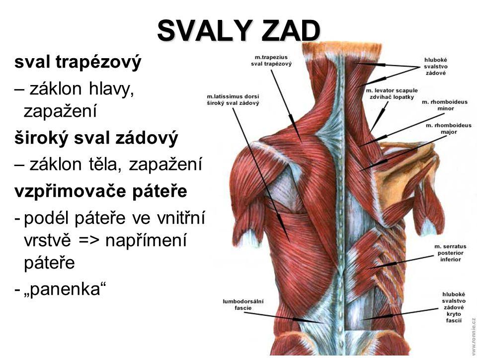 SVALY ZAD sval trapézový – záklon hlavy, zapažení široký sval zádový – záklon těla, zapažení vzpřimovače páteře -podél páteře ve vnitřní vrstvě => nap