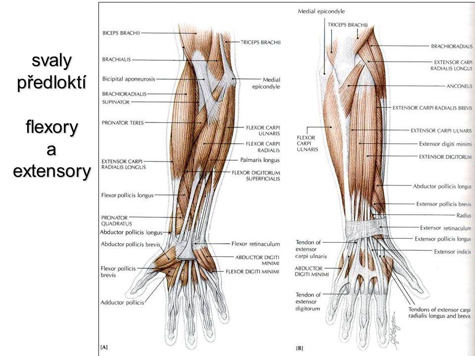 svaly předloktí flexory a extensory