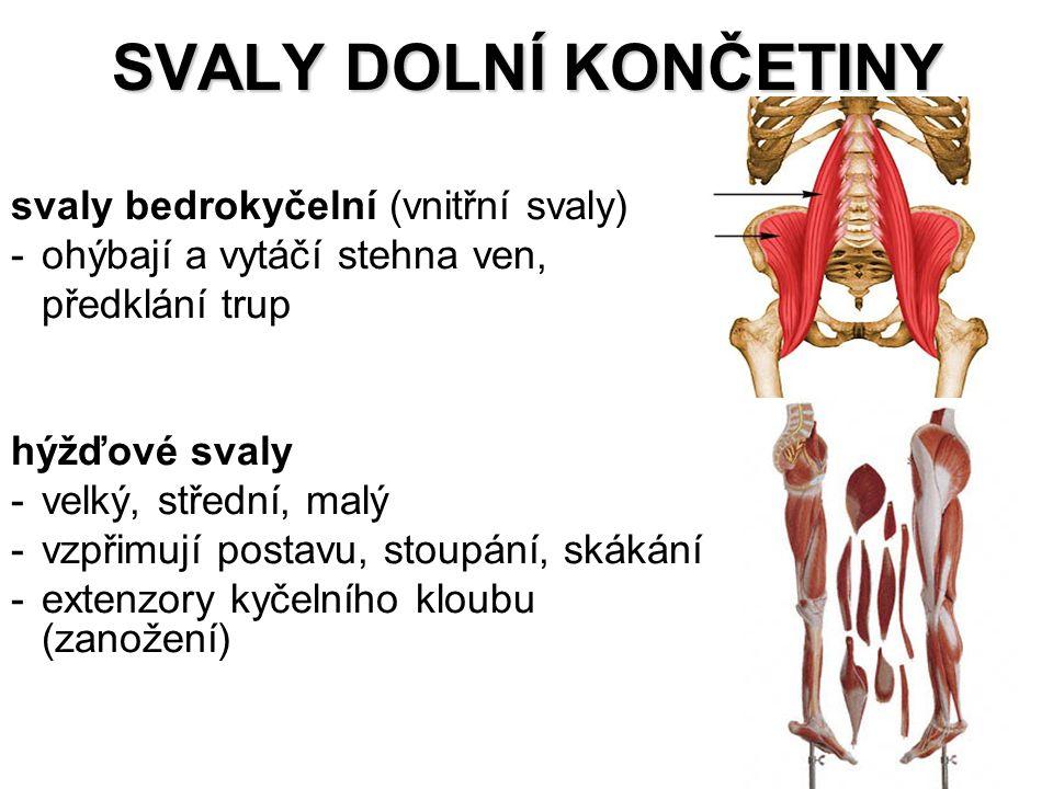 SVALY DOLNÍ KONČETINY svaly bedrokyčelní (vnitřní svaly) -ohýbají a vytáčí stehna ven, předklání trup hýžďové svaly -velký, střední, malý -vzpřimují p