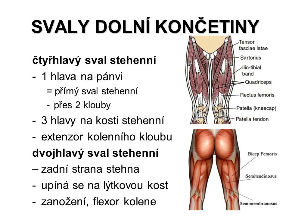 SVALY DOLNÍ KONČETINY čtyřhlavý sval stehenní -1 hlava na pánvi = přímý sval stehenní -přes 2 klouby -3 hlavy na kosti stehenní -extenzor kolenního kl