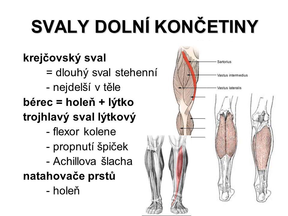 SVALY DOLNÍ KONČETINY krejčovský sval = dlouhý sval stehenní - nejdelší v těle bérec = holeň + lýtko trojhlavý sval lýtkový - flexor kolene - propnutí