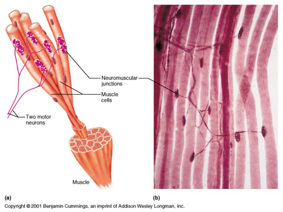 TYPY SVALŮ 1) podle funkce: ohýbače – flexory natahovače – extenzory odtahovače – abduktory přitahovače – adduktory rotační svaly (pronace a supinace) 2) podle tvaru: krátký - mezižeberní dlouhý - sval krejčovský plochý - velký sval prsní kruhový – kruhový sval ústní