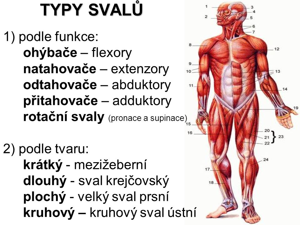 TYPY SVALŮ 1) podle funkce: ohýbače – flexory natahovače – extenzory odtahovače – abduktory přitahovače – adduktory rotační svaly (pronace a supinace)