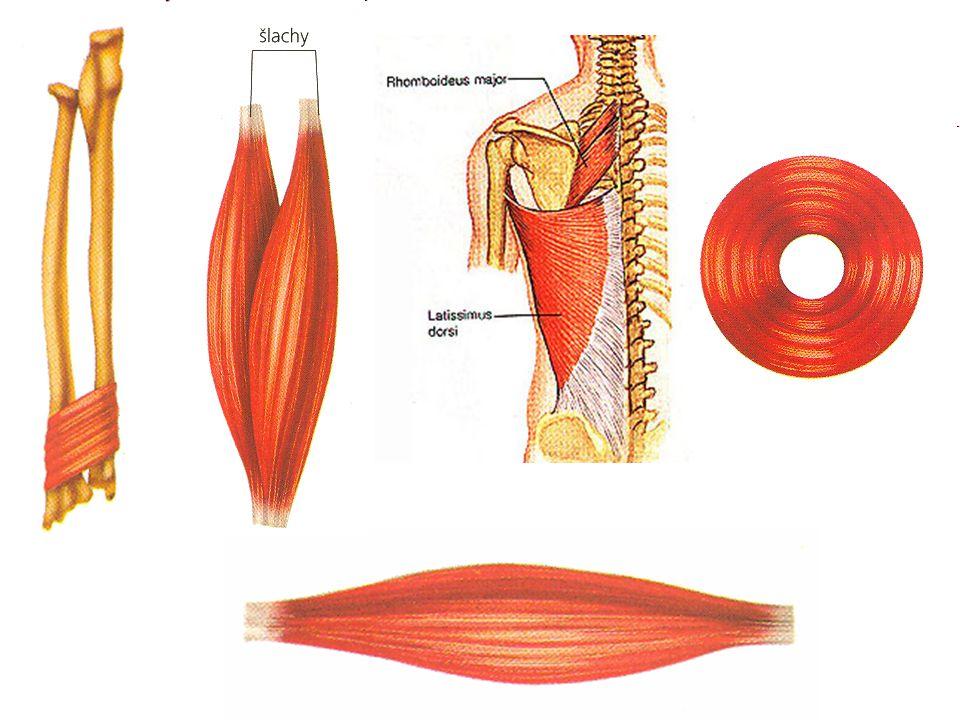 TYPY SVALŮ anatagonistické svaly –pracují proti sobě a vzájemně se natahují –stah jednoho = natažení druhého synergistické svaly –pracují společně –stah jednoho usnadňuje stah druhého svěrače –kruhové svaly –uzavírají např.