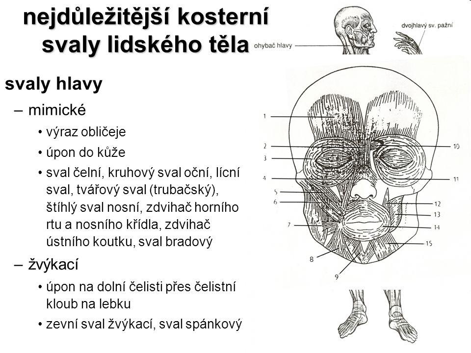 nejdůležitější kosterní svaly lidského těla svaly hlavy –mimické výraz obličeje úpon do kůže sval čelní, kruhový sval oční, lícní sval, tvářový sval (