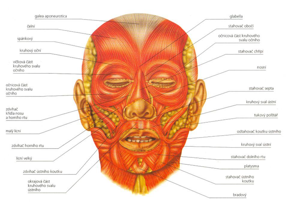 SVALY KRKU zdvihač hlavy - zvedá obličej a otáčí hlavou do stran podkožní sval (platysma) - tvoří podklad krku nadjazylkové svaly - tvoří dno dutiny ústní, zvedají hrtan podjazylkové svaly - tvoří dno dutiny ústní