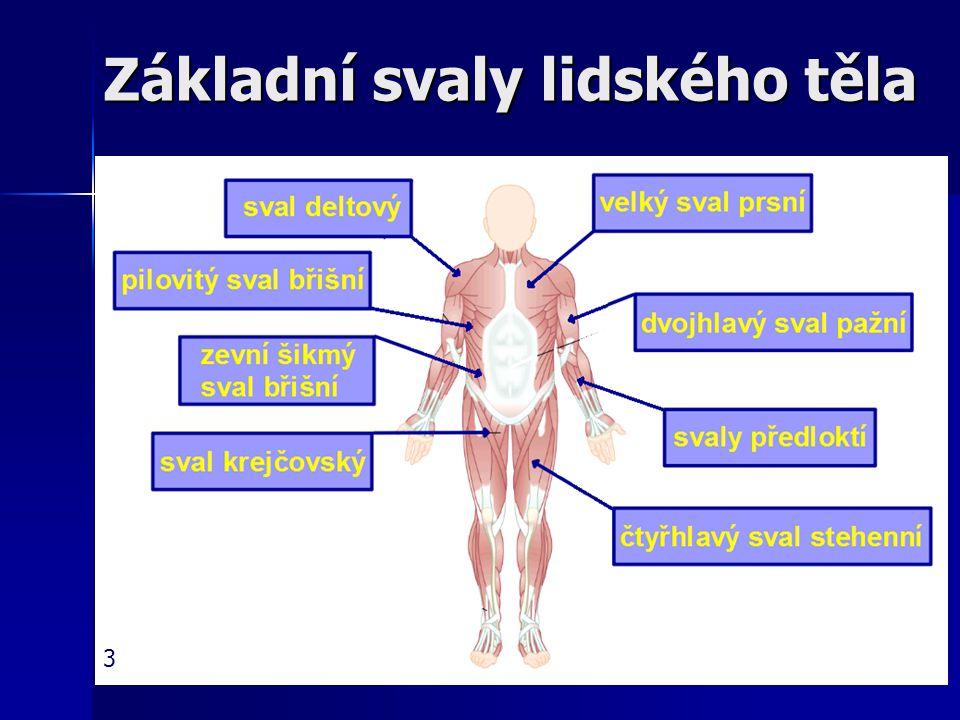 Základní svaly lidského těla 3