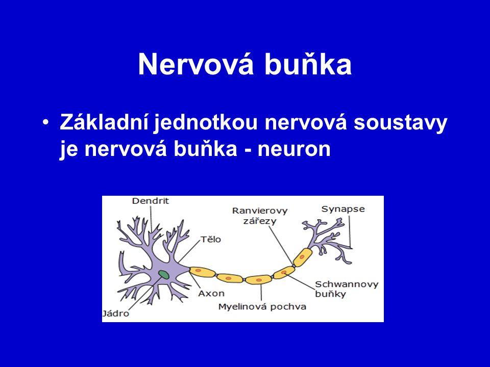 Nervová buňka Základní jednotkou nervová soustavy je nervová buňka - neuron