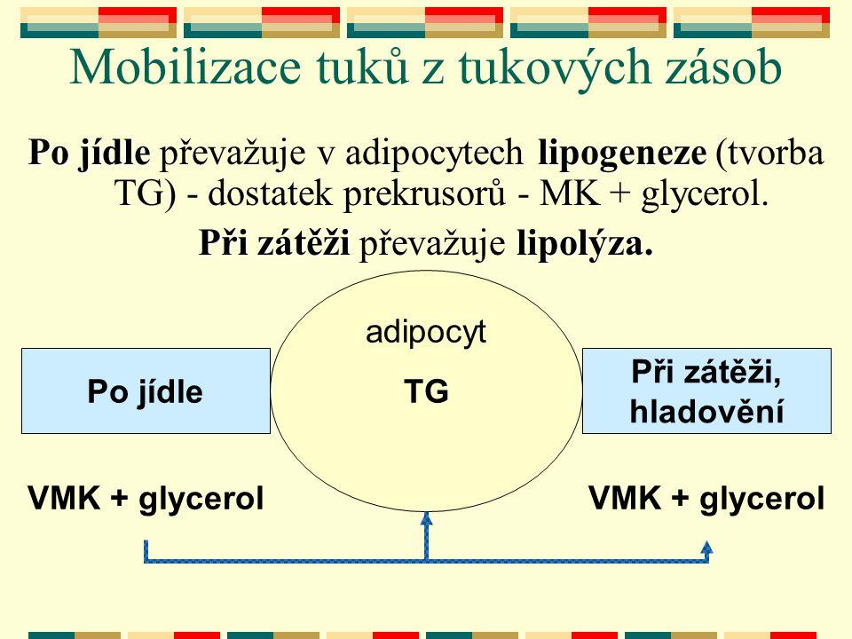 Mobilizace tuků z tukových zásob Po jídlelipogeneze Po jídle převažuje v adipocytech lipogeneze (tvorba TG) - dostatek prekrusorů - MK + glycerol. Při