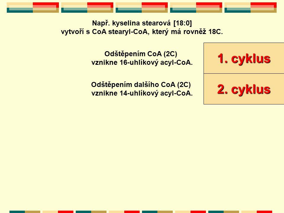 Např. kyselina stearová [18:0] vytvoří s CoA stearyl-CoA, který má rovněž 18C. Odštěpením CoA (2C) vznikne 16-uhlíkový acyl-CoA. 1. cyklus Odštěpením