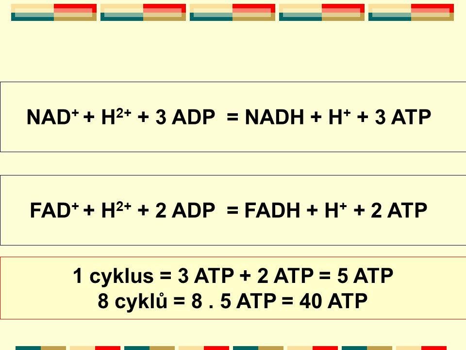 NAD + + H 2+ + 3 ADP = NADH + H + + 3 ATP FAD + + H 2+ + 2 ADP = FADH + H + + 2 ATP 1 cyklus = 3 ATP + 2 ATP = 5 ATP 8 cyklů = 8. 5 ATP = 40 ATP