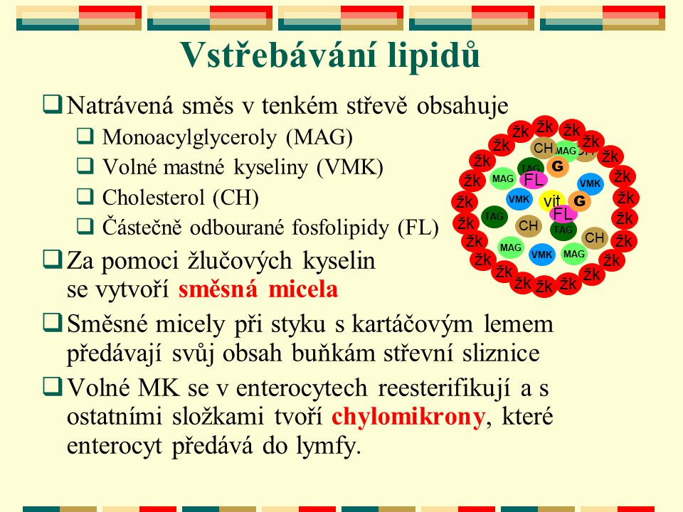 Vstřebávání lipidů vit CH MAG VMK žk TAG VMK MAG CH chylomikron enterocyt žk TAG VMK MAG TAG FL FABP = Z VMK ~CoA VMK ~CoA VMK ~CoA VMK ~CoA CH žk G G ~P~P VMK CH VMK ~CoA VMK ~CoA FL TAG