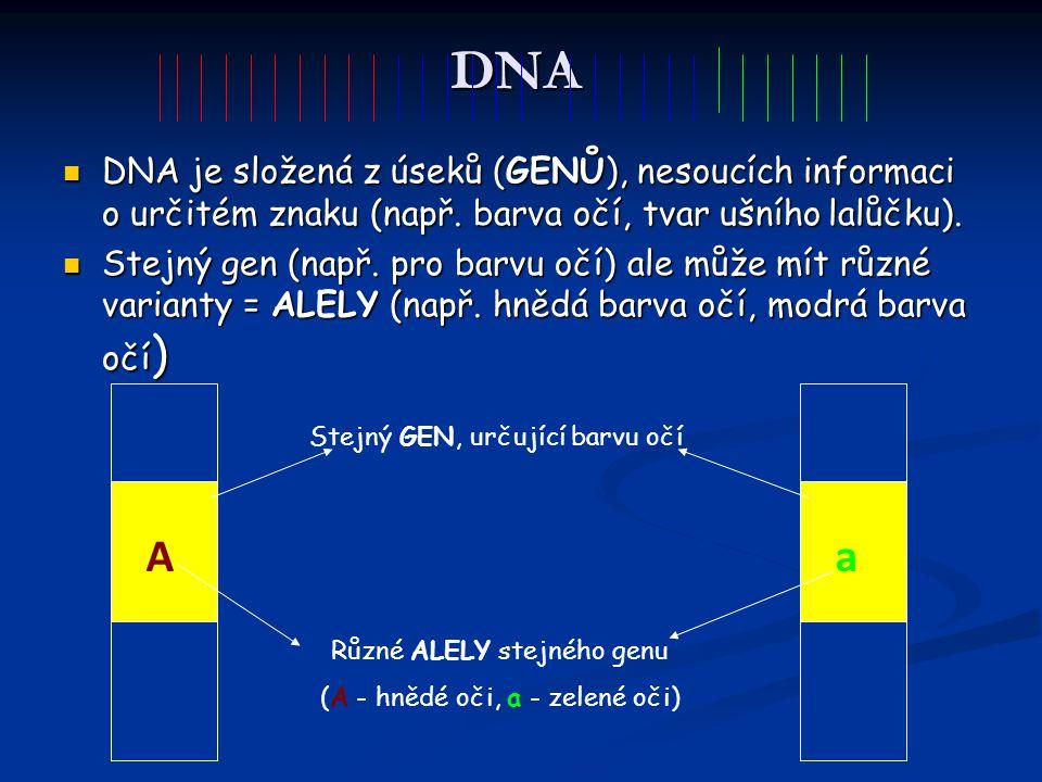 DNA DNA je složená z úseků (GENŮ), nesoucích informaci o určitém znaku (např. barva očí, tvar ušního lalůčku). DNA je složená z úseků (GENŮ), nesoucíc