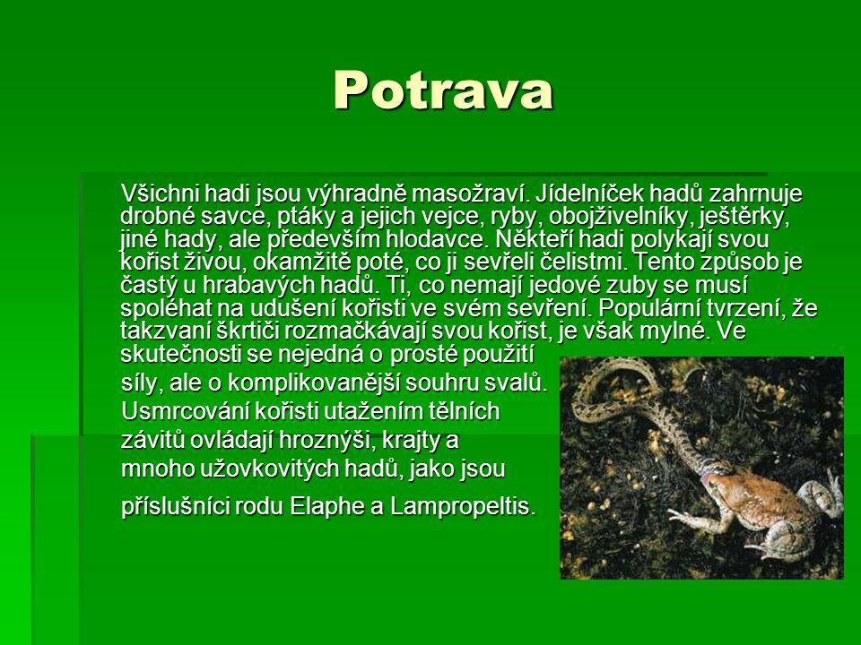 Potrava Potrava Všichni hadi jsou výhradně masožraví. Jídelníček hadů zahrnuje drobné savce, ptáky a jejich vejce, ryby, obojživelníky, ještěrky, jiné