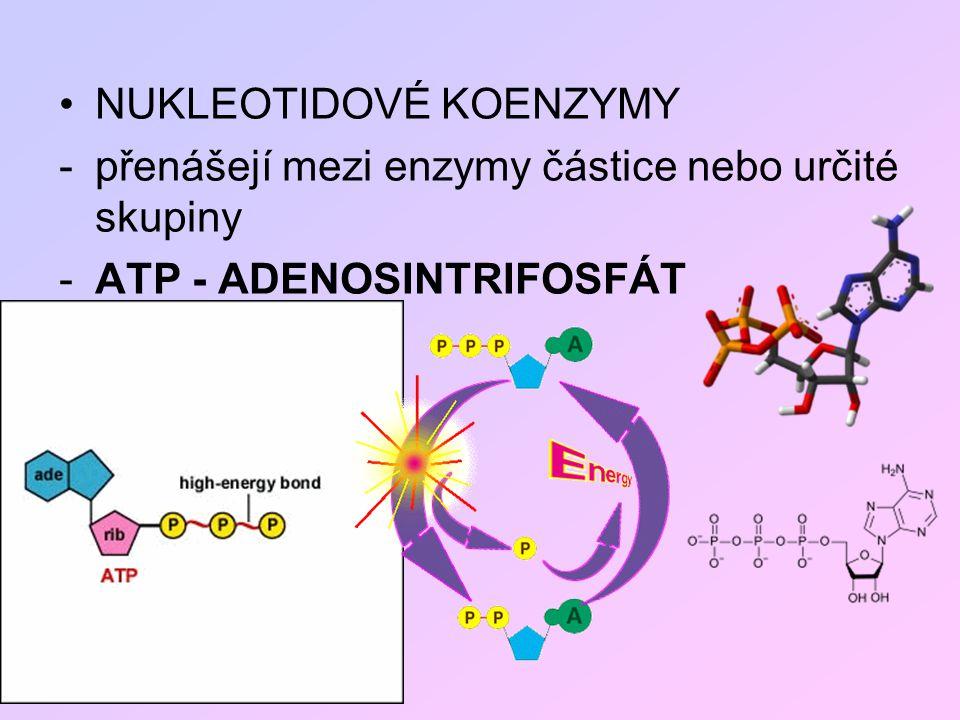 NUKLEOTIDOVÉ KOENZYMY -přenášejí mezi enzymy částice nebo určité skupiny -ATP - ADENOSINTRIFOSFÁT