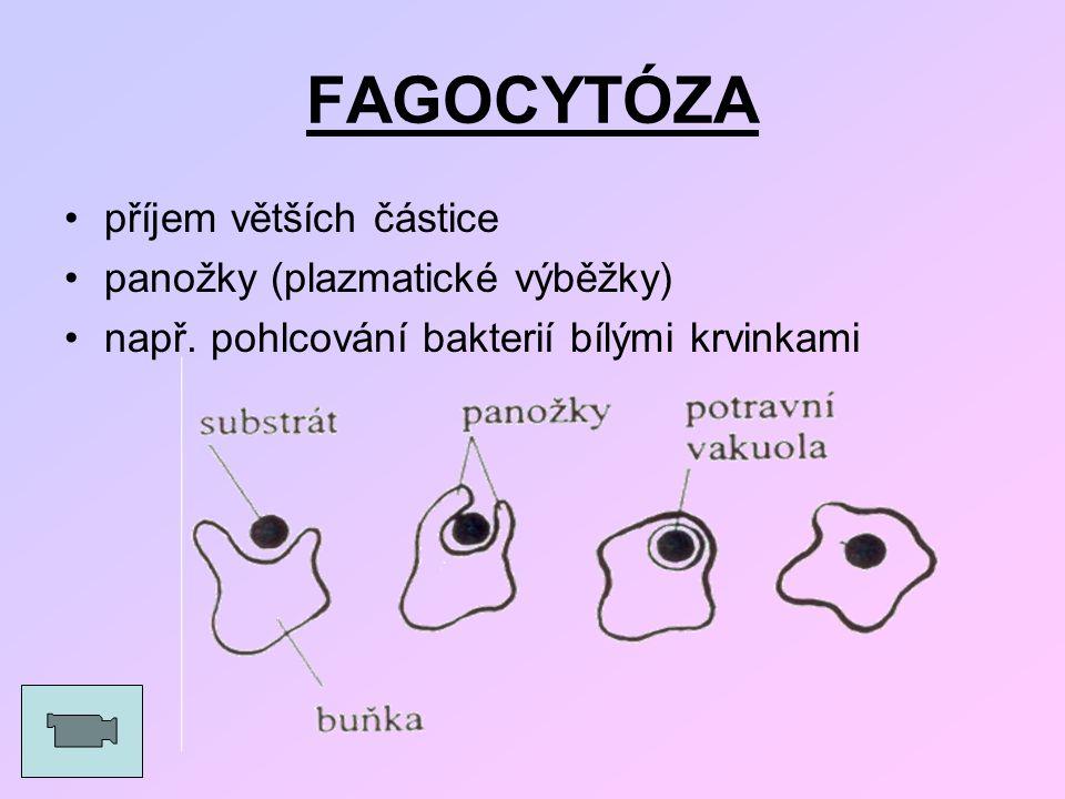 FAGOCYTÓZA příjem větších částice panožky (plazmatické výběžky) např. pohlcování bakterií bílými krvinkami