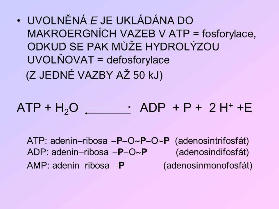 UVOLNĚNÁ E JE UKLÁDÁNA DO MAKROERGNÍCH VAZEB V ATP = fosforylace, ODKUD SE PAK MŮŽE HYDROLÝZOU UVOLŇOVAT = defosforylace (Z JEDNÉ VAZBY AŽ 50 kJ) ATP