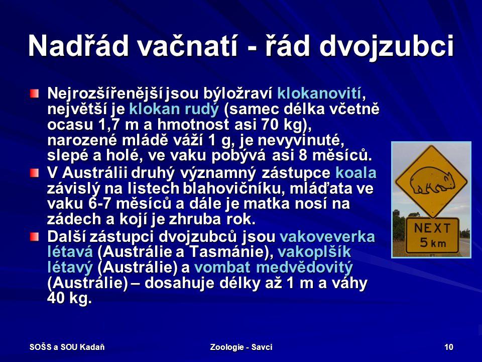 SOŠS a SOU Kadaň Zoologie - Savci 10 Nadřád vačnatí - řád dvojzubci Nejrozšířenější jsou býložraví klokanovití, největší je klokan rudý (samec délka v