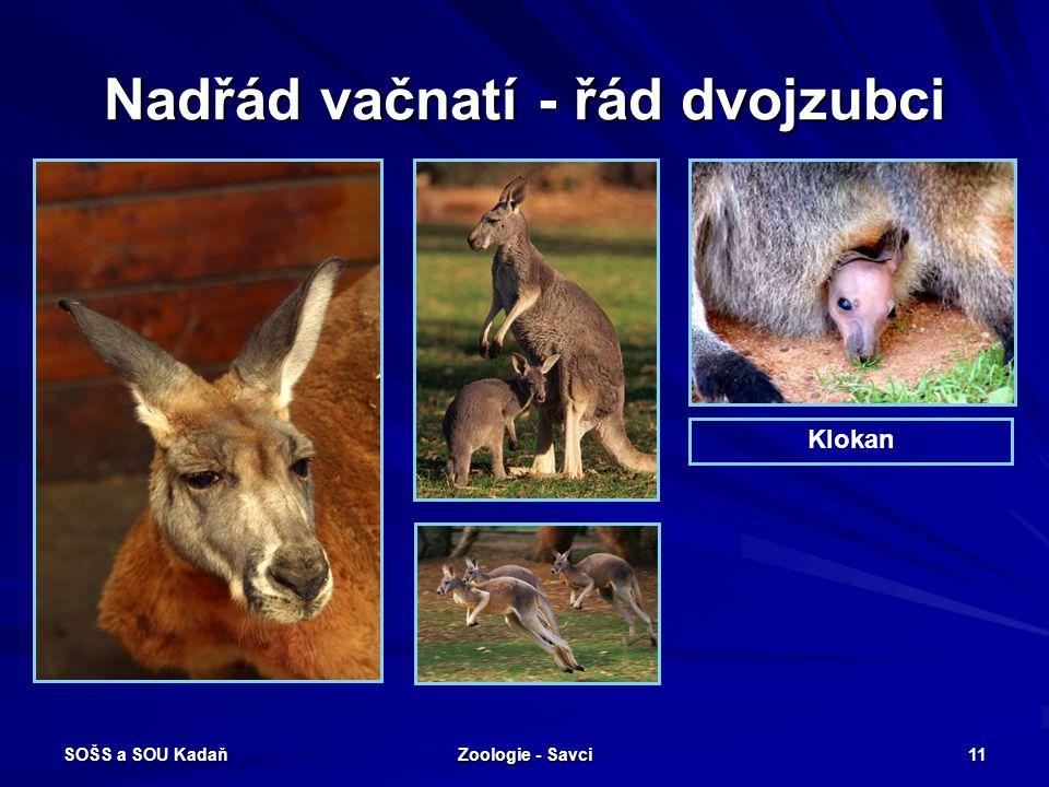 SOŠS a SOU Kadaň Zoologie - Savci 11 Nadřád vačnatí - řád dvojzubci Klokan