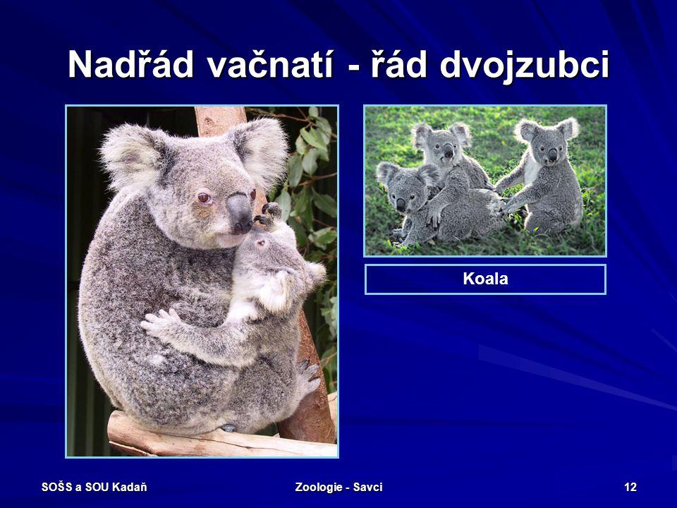 SOŠS a SOU Kadaň Zoologie - Savci 12 Nadřád vačnatí - řád dvojzubci Koala
