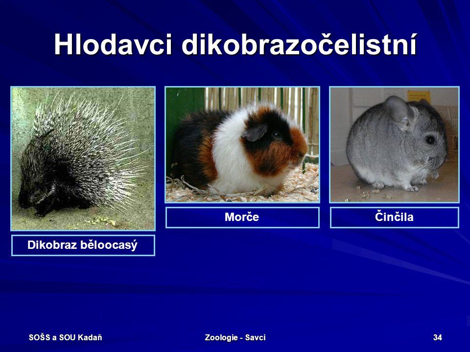 SOŠS a SOU Kadaň Zoologie - Savci 34 Hlodavci dikobrazočelistní ČinčilaMorče Dikobraz běloocasý
