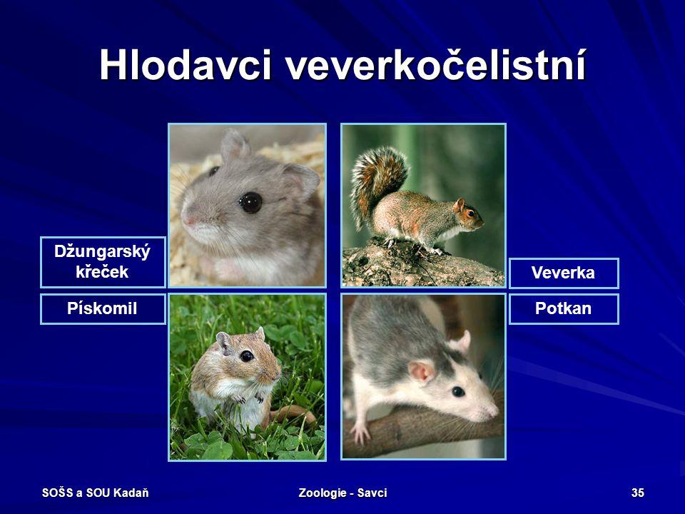 SOŠS a SOU Kadaň Zoologie - Savci 35 Hlodavci veverkočelistní Džungarský křeček PískomilPotkan Veverka