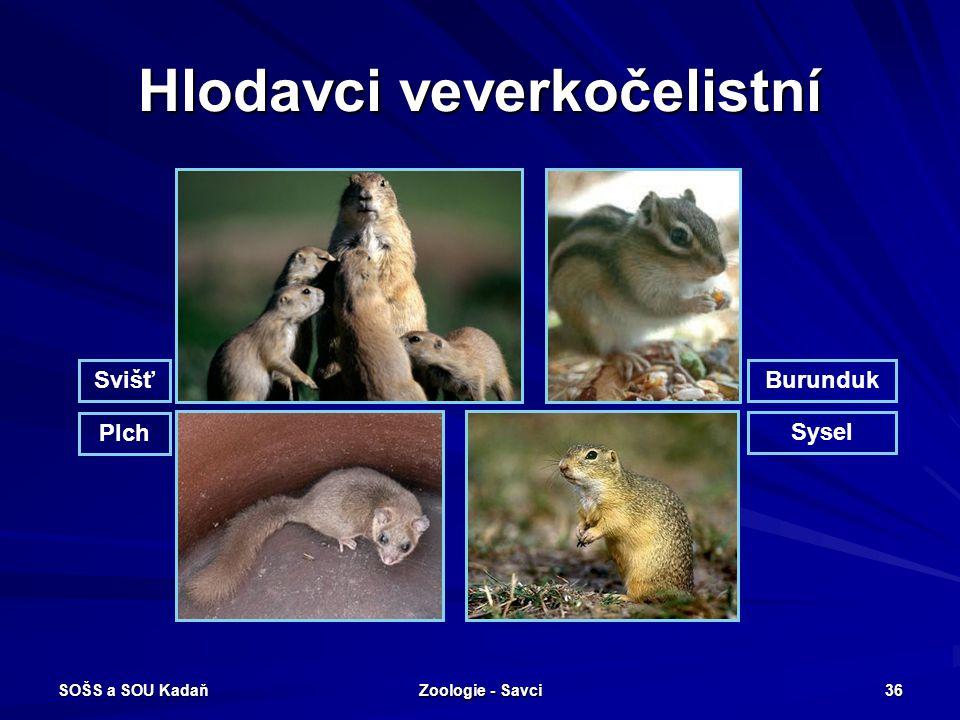 SOŠS a SOU Kadaň Zoologie - Savci 36 Hlodavci veverkočelistní SvišťBurunduk Plch Sysel