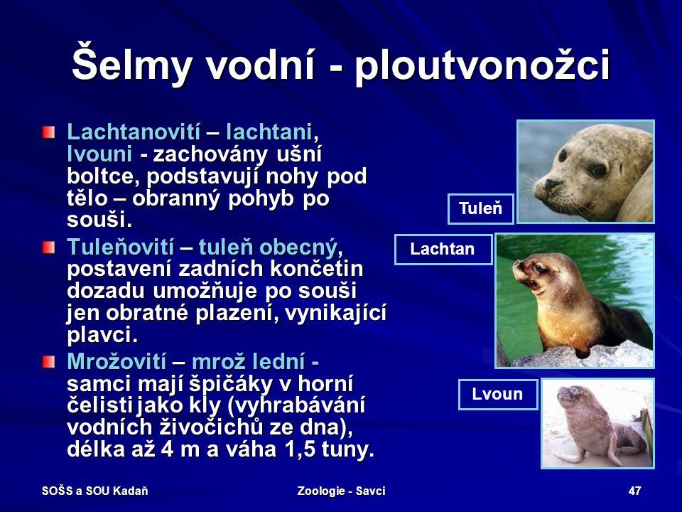 SOŠS a SOU Kadaň Zoologie - Savci 47 Šelmy vodní - ploutvonožci Lachtanovití – lachtani, lvouni - zachovány ušní boltce, podstavují nohy pod tělo – ob