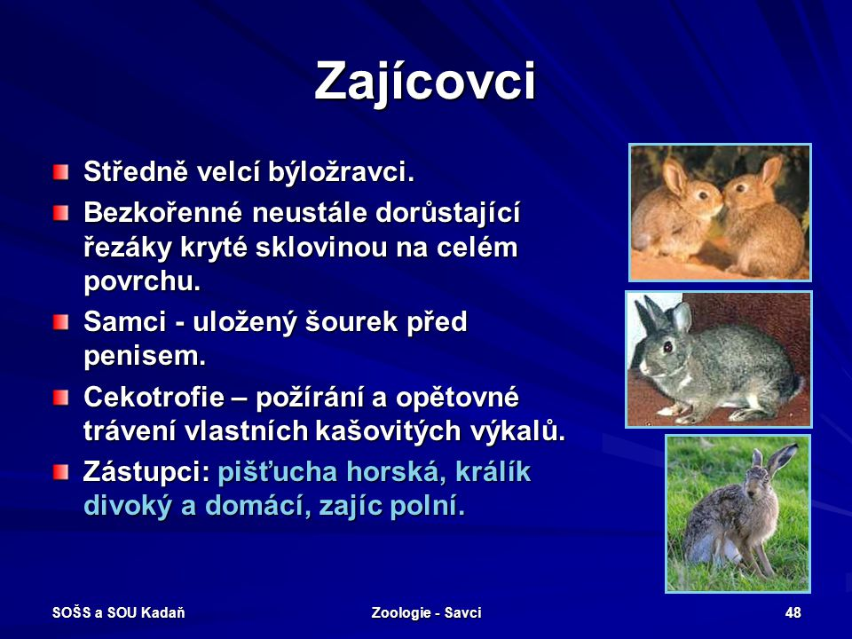 SOŠS a SOU Kadaň Zoologie - Savci 48 Zajícovci Středně velcí býložravci. Bezkořenné neustále dorůstající řezáky kryté sklovinou na celém povrchu. Samc