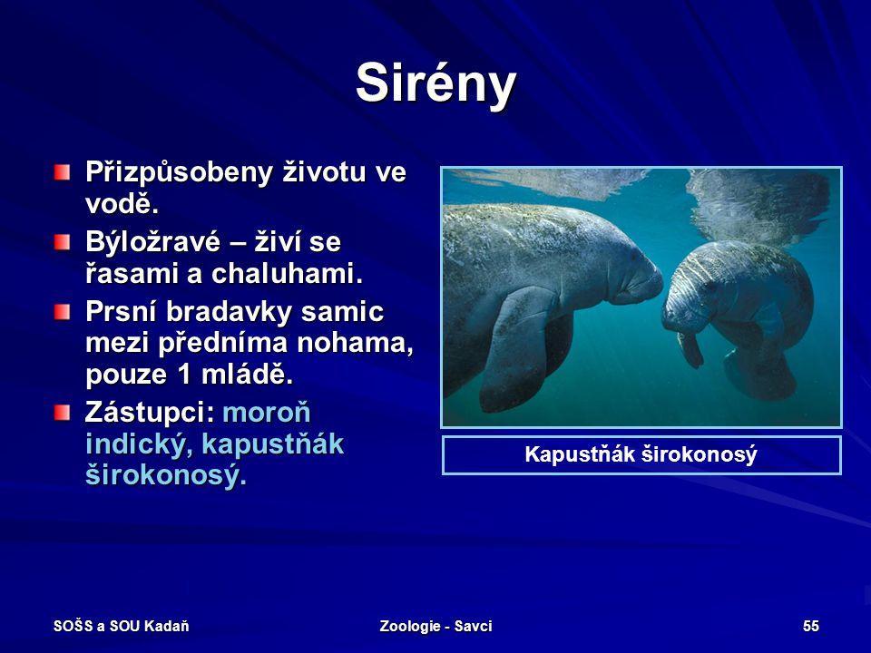 SOŠS a SOU Kadaň Zoologie - Savci 55 Sirény Přizpůsobeny životu ve vodě. Býložravé – živí se řasami a chaluhami. Prsní bradavky samic mezi předníma no