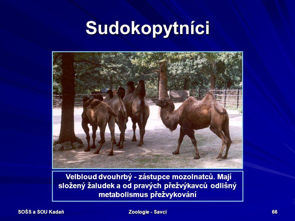 SOŠS a SOU Kadaň Zoologie - Savci 66 Sudokopytníci Velbloud dvouhrbý - zástupce mozolnatců. Mají složený žaludek a od pravých přežvýkavců odlišný meta