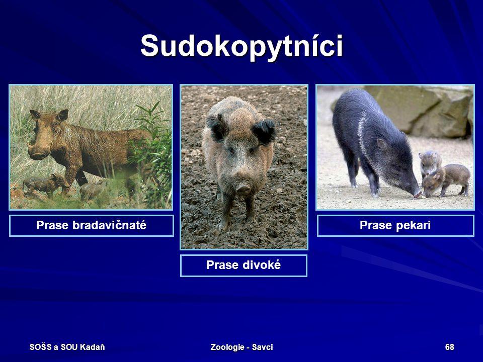 SOŠS a SOU Kadaň Zoologie - Savci 68 Sudokopytníci Prase bradavičnatéPrase pekari Prase divoké
