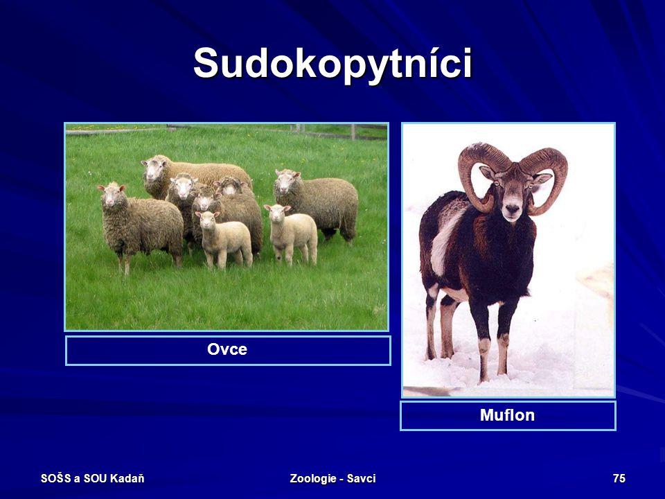 SOŠS a SOU Kadaň Zoologie - Savci 75 Sudokopytníci Ovce Muflon