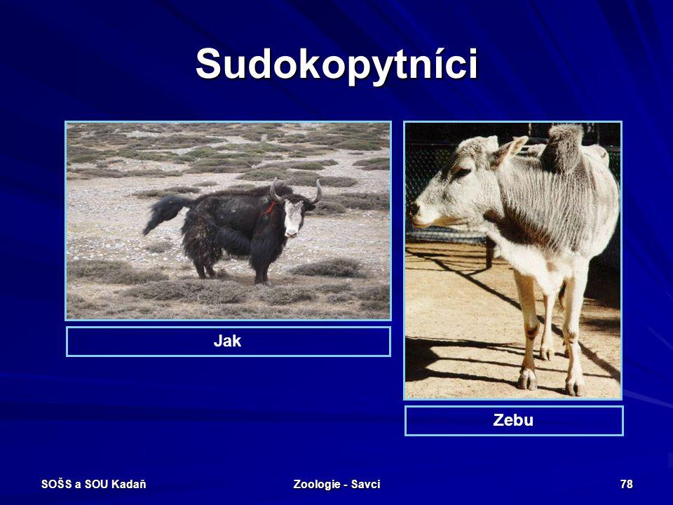 SOŠS a SOU Kadaň Zoologie - Savci 78 Sudokopytníci Jak Zebu
