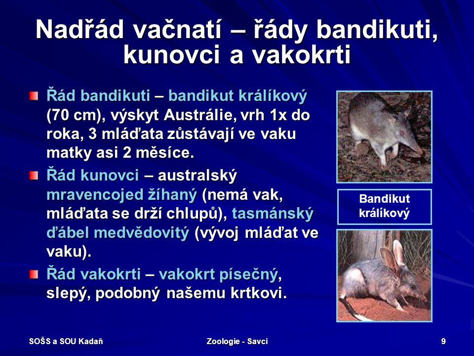 SOŠS a SOU Kadaň Zoologie - Savci 9 Nadřád vačnatí – řády bandikuti, kunovci a vakokrti Řád bandikuti – bandikut králíkový (70 cm), výskyt Austrálie,