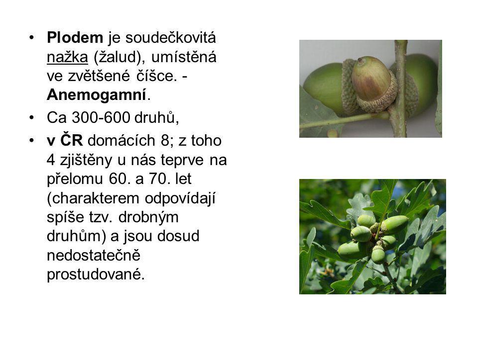 Plodem je soudečkovitá nažka (žalud), umístěná ve zvětšené číšce. - Anemogamní. Ca 300-600 druhů, v ČR domácích 8; z toho 4 zjištěny u nás teprve na p