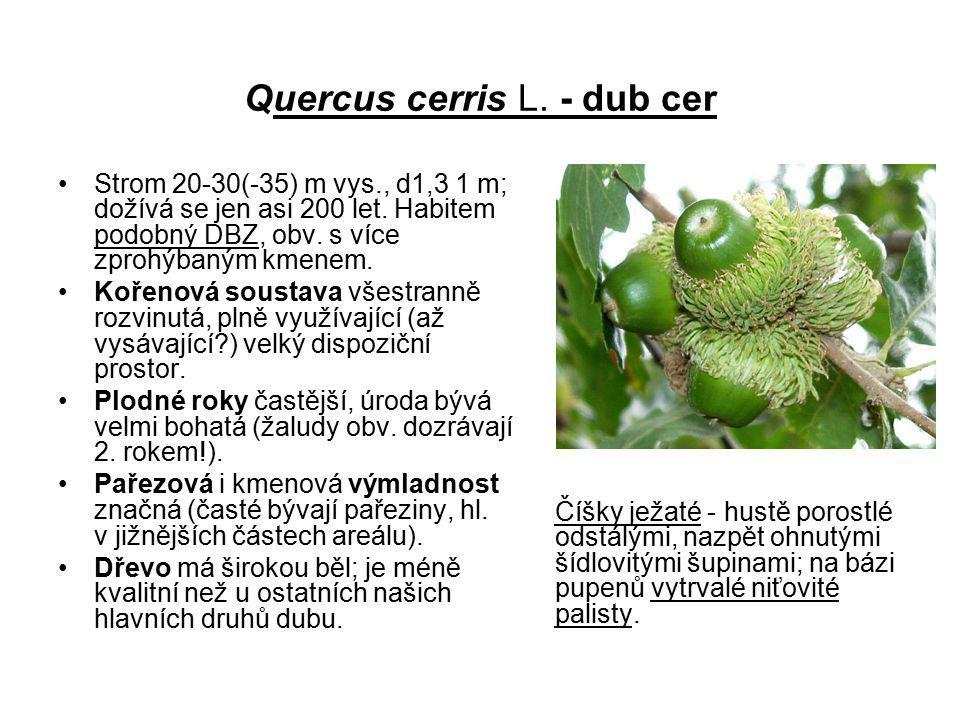 Quercus cerris L. - dub cer Strom 20-30(-35) m vys., d1,3 1 m; dožívá se jen asi 200 let. Habitem podobný DBZ, obv. s více zprohýbaným kmenem. Kořenov