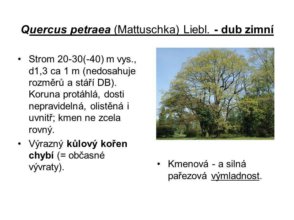 Quercus petraea (Mattuschka) Liebl. - dub zimní Strom 20-30(-40) m vys., d1,3 ca 1 m (nedosahuje rozměrů a stáří DB). Koruna protáhlá, dosti nepravide