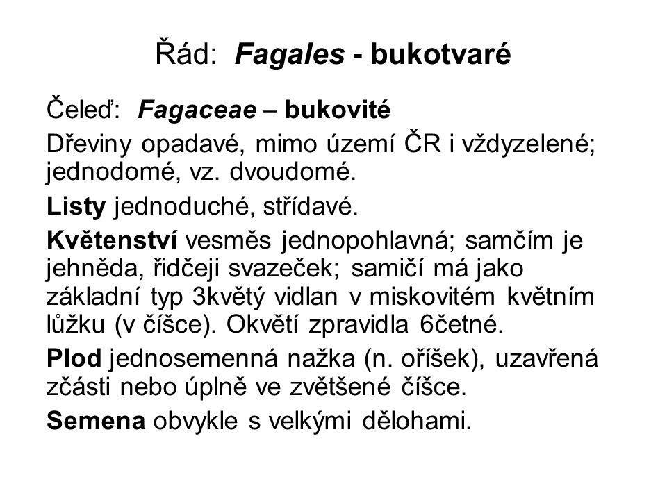 Řád: Fagales - bukotvaré Čeleď: Fagaceae – bukovité Dřeviny opadavé, mimo území ČR i vždyzelené; jednodomé, vz. dvoudomé. Listy jednoduché, střídavé.
