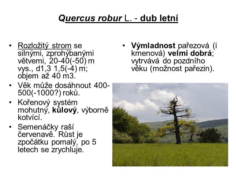 Quercus robur L. - dub letní Rozložitý strom se silnými, zprohýbanými větvemi, 20-40(-50) m vys., d1,3 1,5(-4) m; objem až 40 m3. Věk může dosáhnout 4