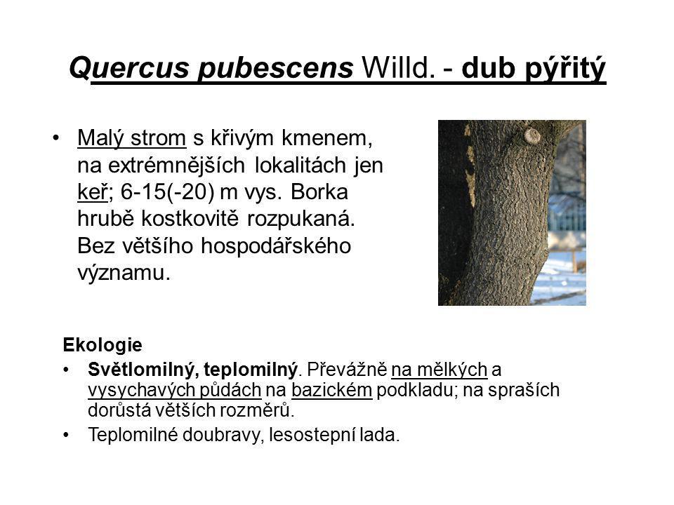 Quercus pubescens Willd. - dub pýřitý Malý strom s křivým kmenem, na extrémnějších lokalitách jen keř; 6-15(-20) m vys. Borka hrubě kostkovitě rozpuka