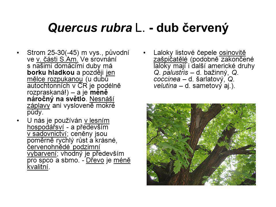 Quercus rubra L. - dub červený Strom 25-30(-45) m vys., původní ve v. části S.Am. Ve srovnání s našimi domácími duby má borku hladkou a později jen mě