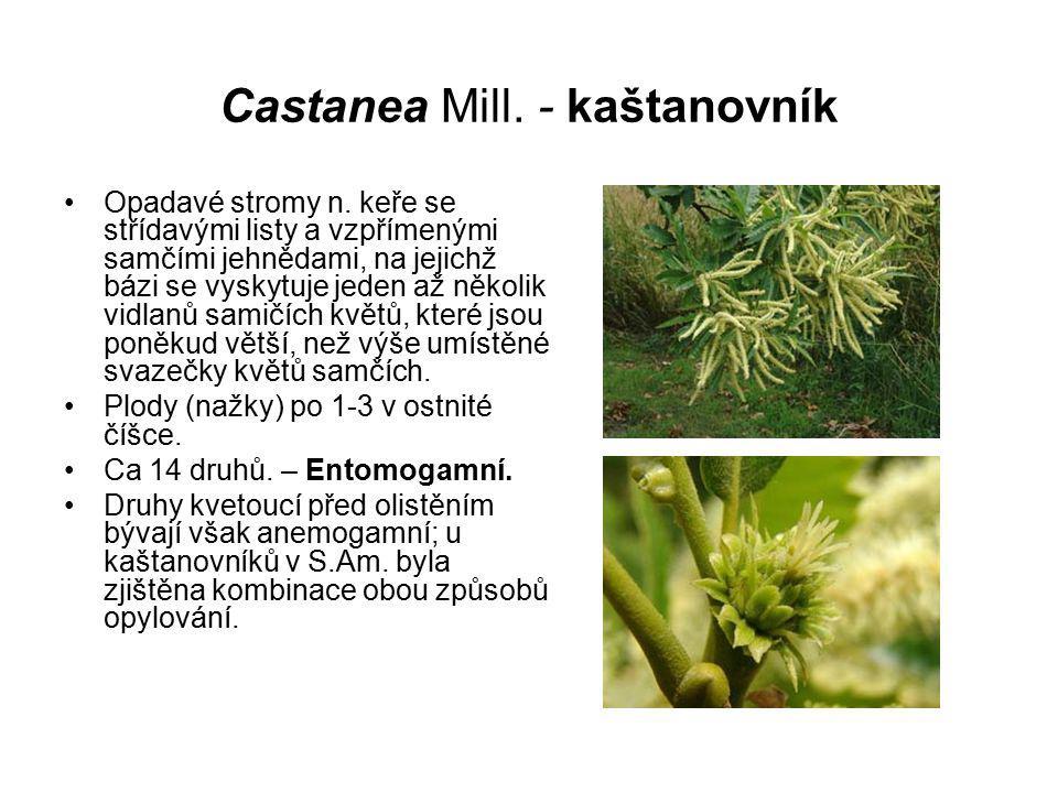 Castanea Mill. - kaštanovník Opadavé stromy n. keře se střídavými listy a vzpřímenými samčími jehnědami, na jejichž bázi se vyskytuje jeden až několik