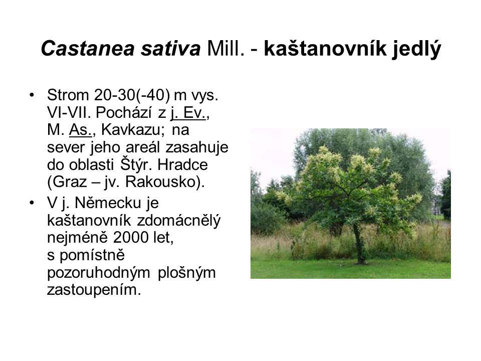 Castanea sativa Mill. - kaštanovník jedlý Strom 20-30(-40) m vys. VI-VII. Pochází z j. Ev., M. As., Kavkazu; na sever jeho areál zasahuje do oblasti Š