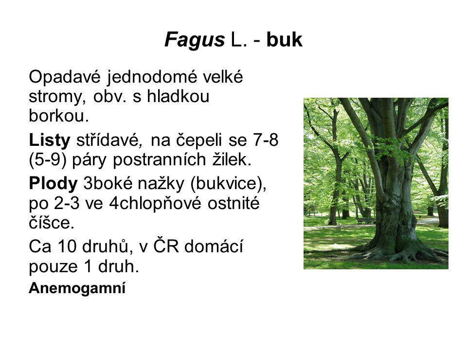 Fagus L. - buk Opadavé jednodomé velké stromy, obv. s hladkou borkou. Listy střídavé, na čepeli se 7-8 (5-9) páry postranních žilek. Plody 3boké nažky