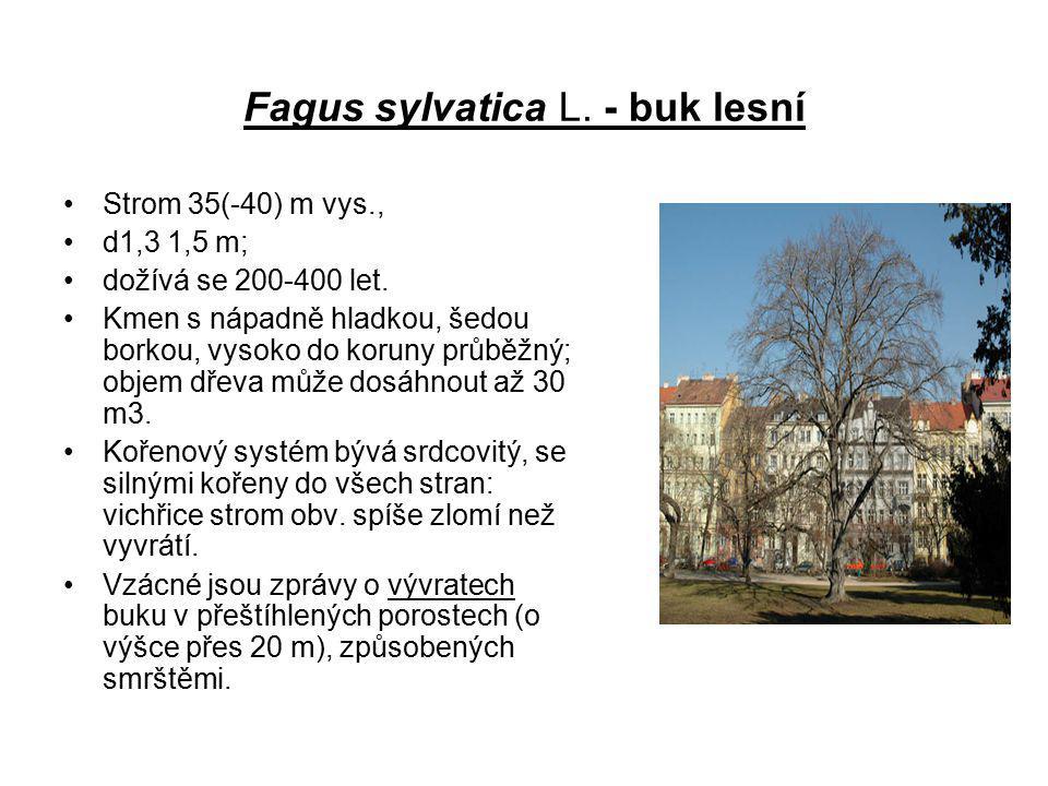 Fagus sylvatica L. - buk lesní Strom 35(-40) m vys., d1,3 1,5 m; dožívá se 200-400 let. Kmen s nápadně hladkou, šedou borkou, vysoko do koruny průběžn