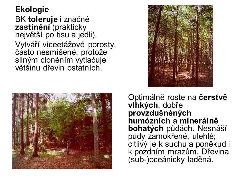 Drobné druhy podobné DBL Strom (10-)30(-40) m vys., s přímými, poměrně štíhlými větvemi.