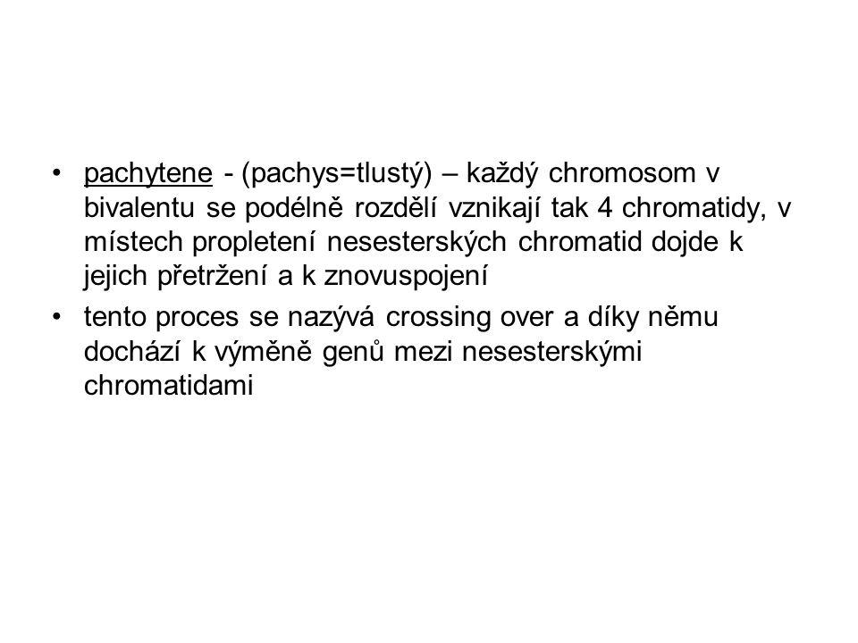 pachytene - (pachys=tlustý) – každý chromosom v bivalentu se podélně rozdělí vznikají tak 4 chromatidy, v místech propletení nesesterských chromatid d