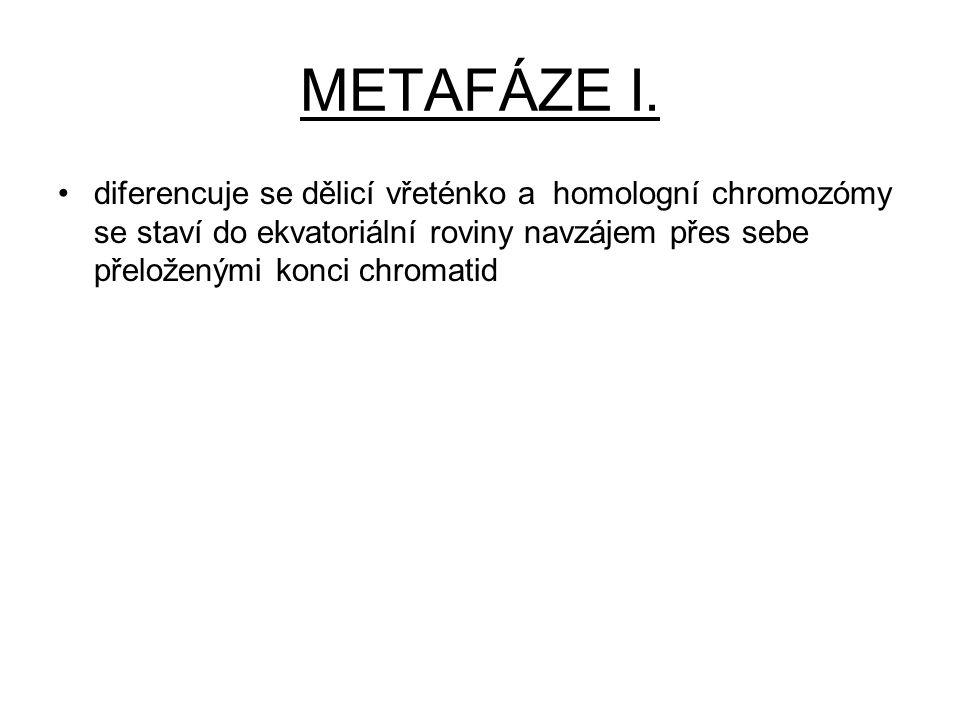 METAFÁZE I. diferencuje se dělicí vřeténko a homologní chromozómy se staví do ekvatoriální roviny navzájem přes sebe přeloženými konci chromatid